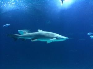 ... do morskih psov, ki ti plavajo nad glavo.